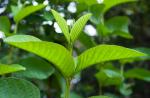 Lá ổi – Vị cứu tinh của bệnh rụng tóc nay còn chống lại ung thư, tiểu đường, dị ứng,…