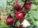 Công dụng tuyệt vời của cây Atiso đỏ đối với sức khỏe
