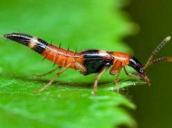 Báo động dịch kiến ba khoang đang vào mùa cao điểm