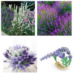 Tác dụng của cây Oải Hương - Lavender