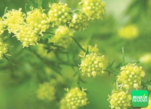 Cây thanh hao hoa vàng có công dụng chữa bệnh cực kì hiệu nghiệm