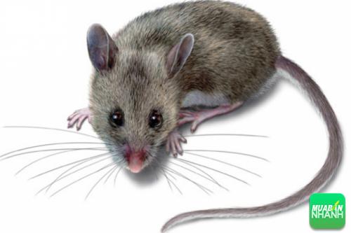 Lông chuột có thể xuất hiện trong một số loại sản phẩm được sản xuất theo dây chuyền.