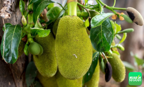 Mít thuộc loại cây ăn trái và được trồng phổ biến ở Việt Nam