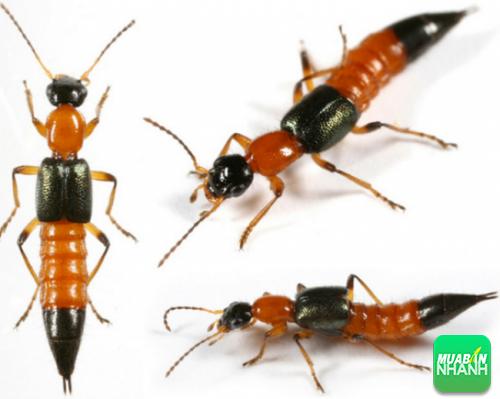 Kiến ba khoang là loại côn trùng nhỏ, biết bay và dễ ẩn trốn trong nhà bạn.