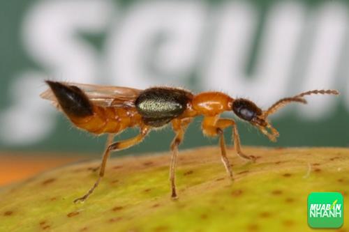 Kiến ba khoang là loại côn trùng mang trong mình chất cực độc.
