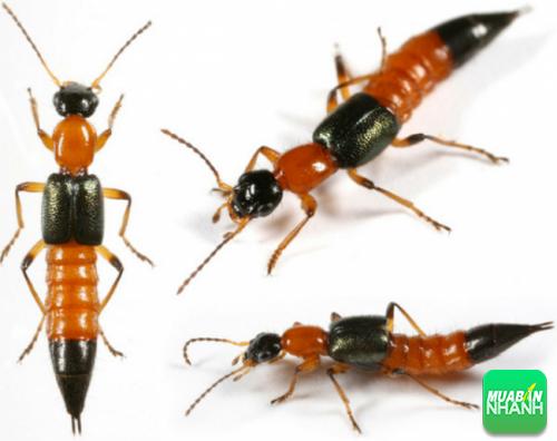 Kiến ba khoang thuộc loại côn trùng nhỏ, biết bay nên rất dễ xuất hiện tại nhà bạn