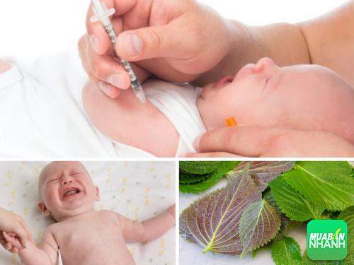 Cách hạ sốt cho trẻ sơ sinh khi tiêm phòng bằng lá tía tô, 397, Phương Thảo, Cẩm Nang Sức Khỏe, 29/11/2016 17:36:04