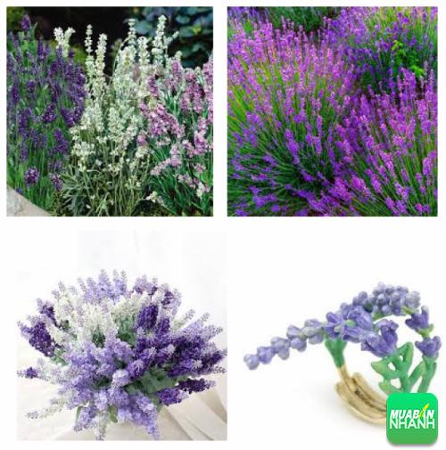 tác dụng của cây lavender